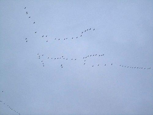 Bird Kite Canada Goose', Giant